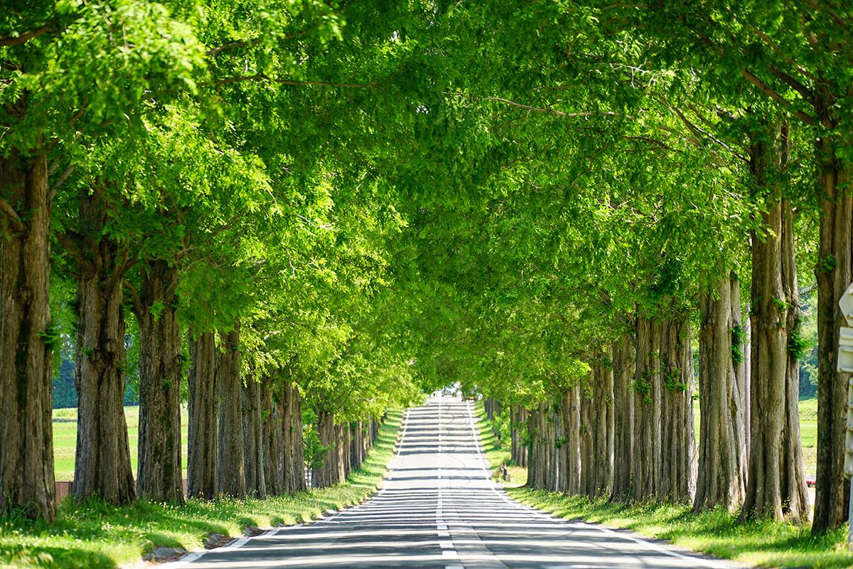 滋賀県マキノ高原のメタセコイア並木